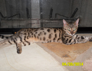 Bengal cat named
